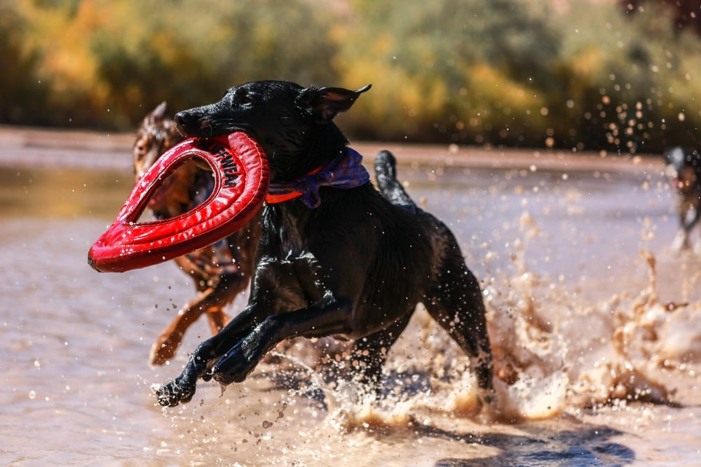 short-coated black dog running on shore while biting round red leather textile during daytime