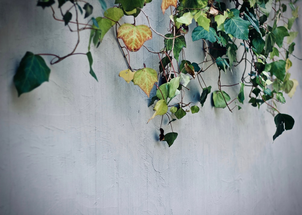 green vine plant on concrete wall