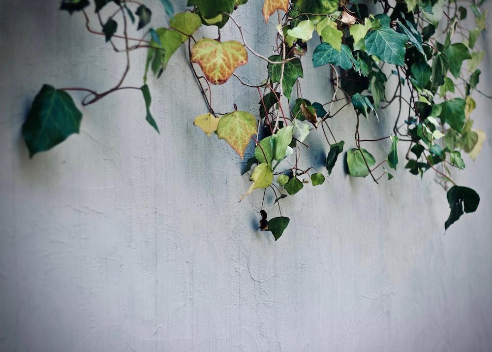 green vine plant on concrete wall