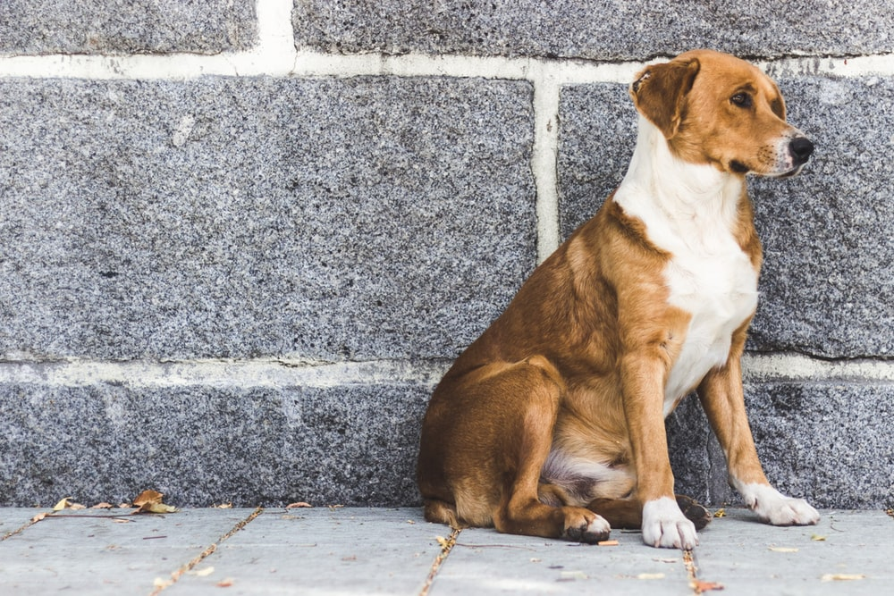 short-coat brown and white dog sitting near gray concrete wall during daytime