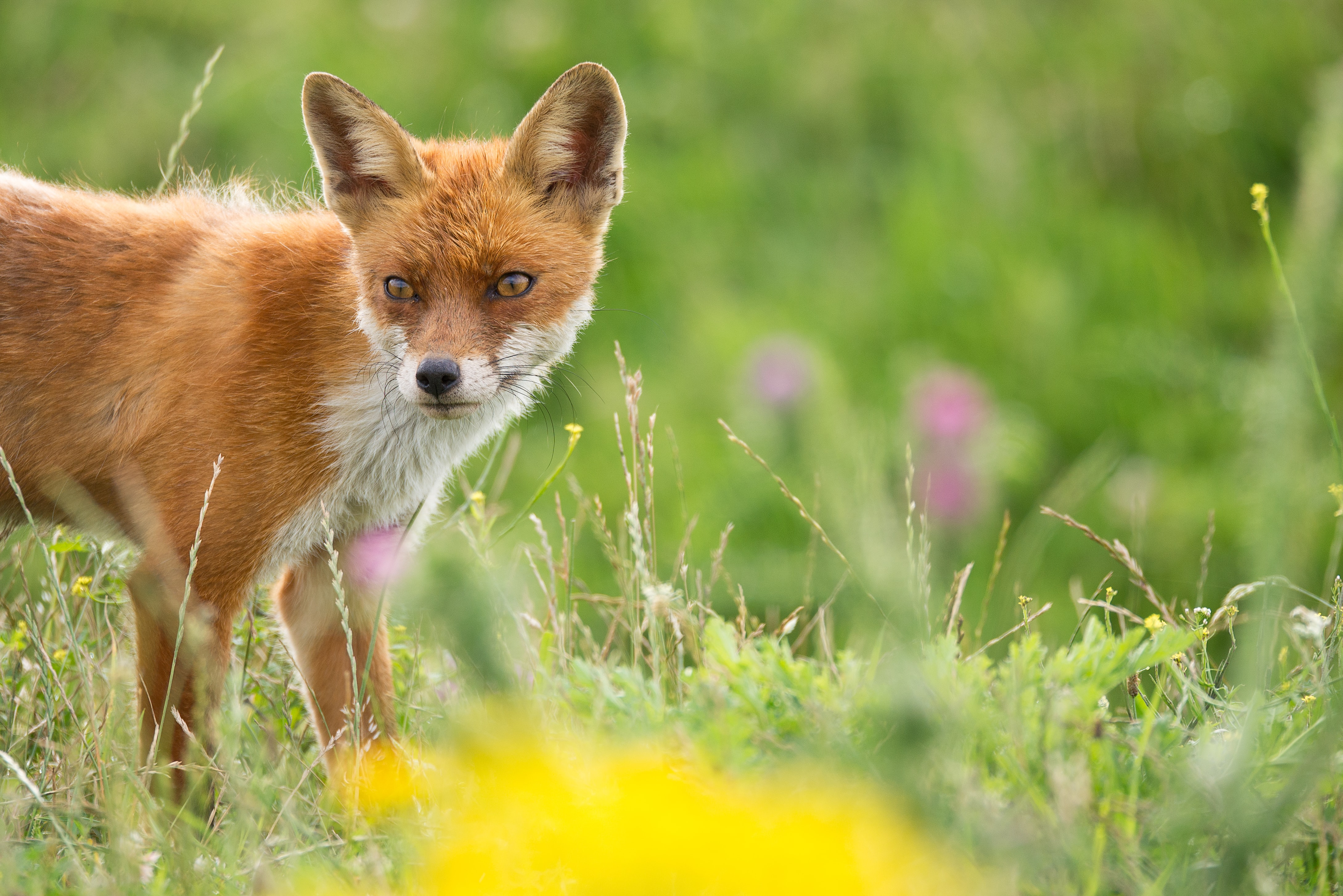 selective focus photography of brown fox on grass