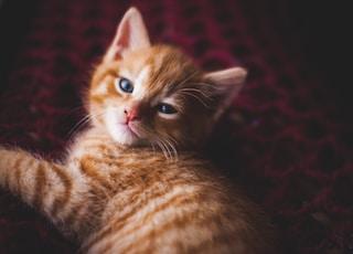 lying orange tabby cat