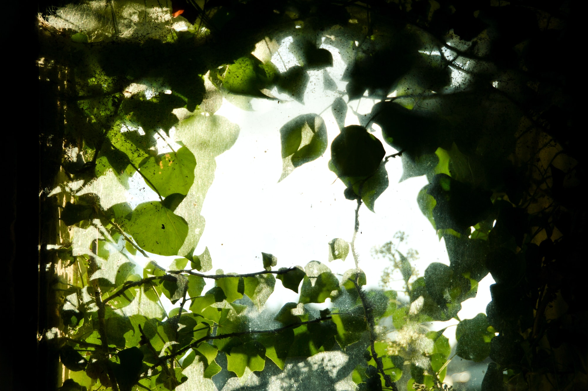 This is a window in a disused shed. The building exterior is overgrown with ivy.  From the inside the the dusty widow forms a screen that diffuses the light and gives the leaves a ghostly appearance. I was interested in exploring the multiple levels of opaque screen, silhouette and depth of field.