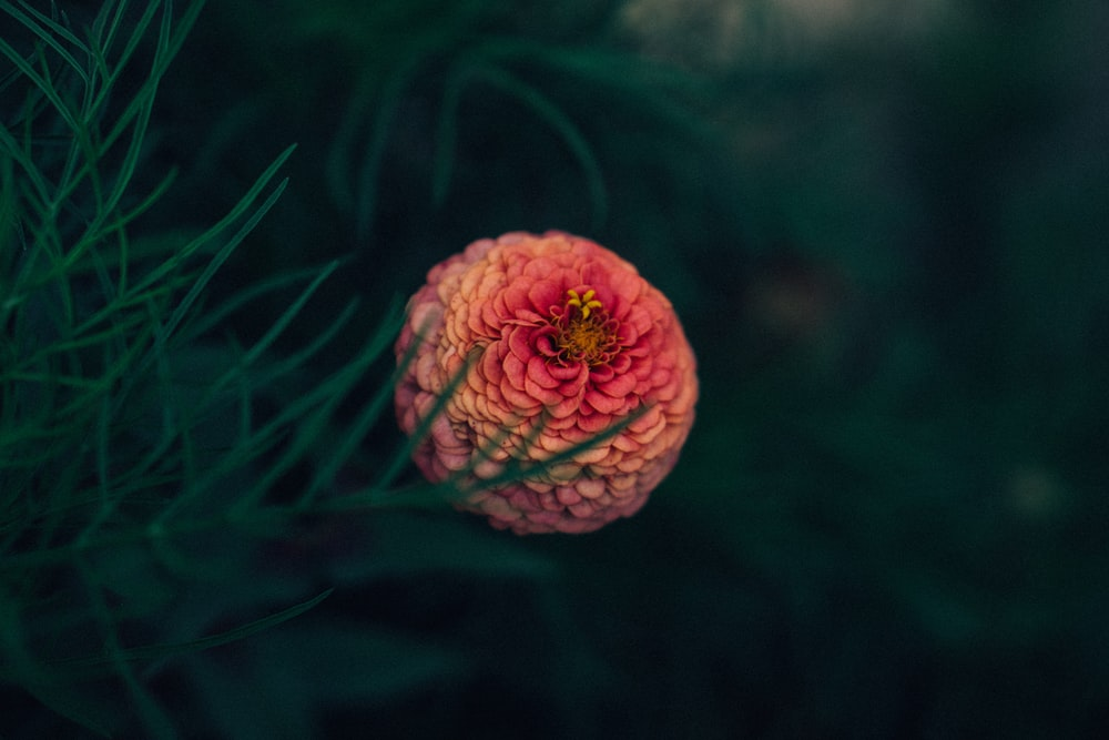shallow focus of pink chrysanthemum near green leaf