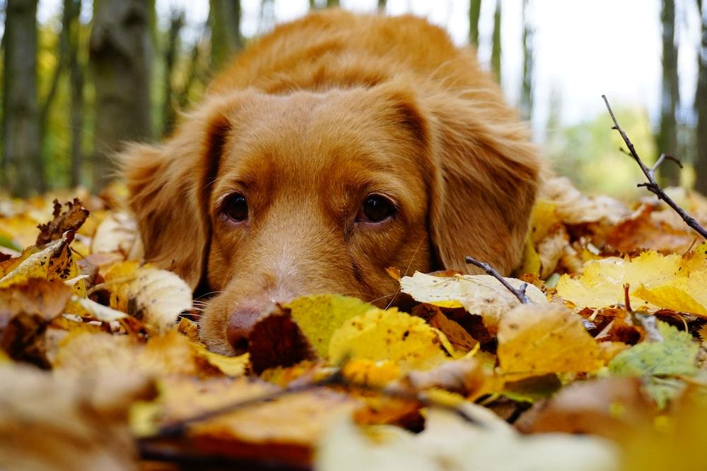 medium-coated brown lying on leaves