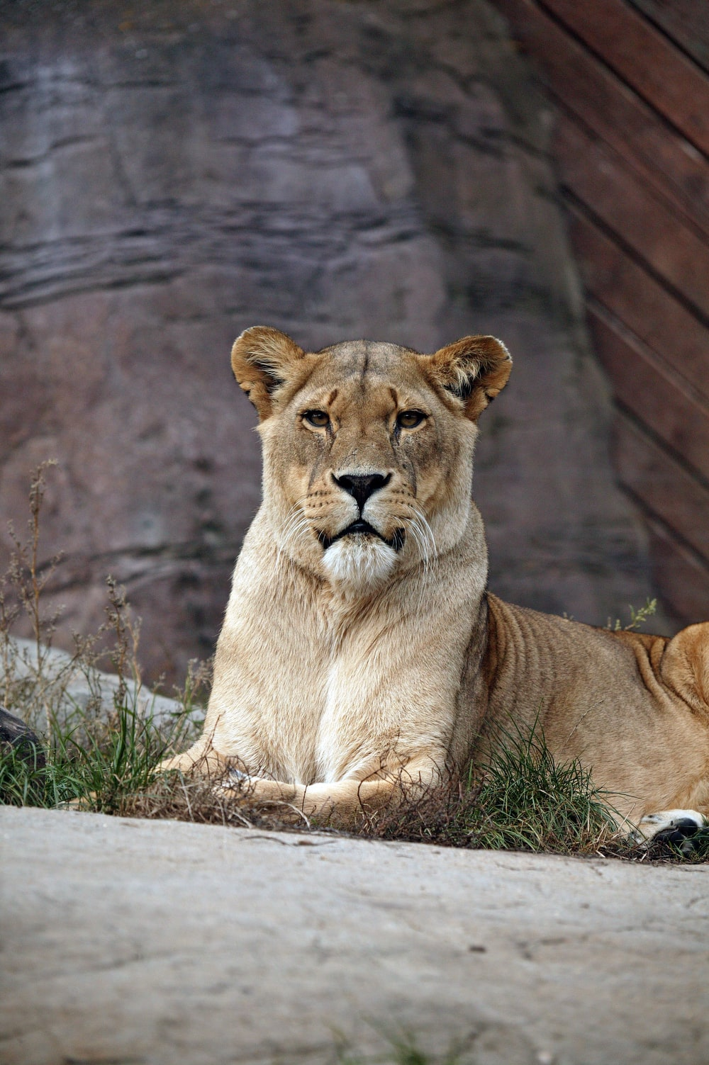 lioness on pavement