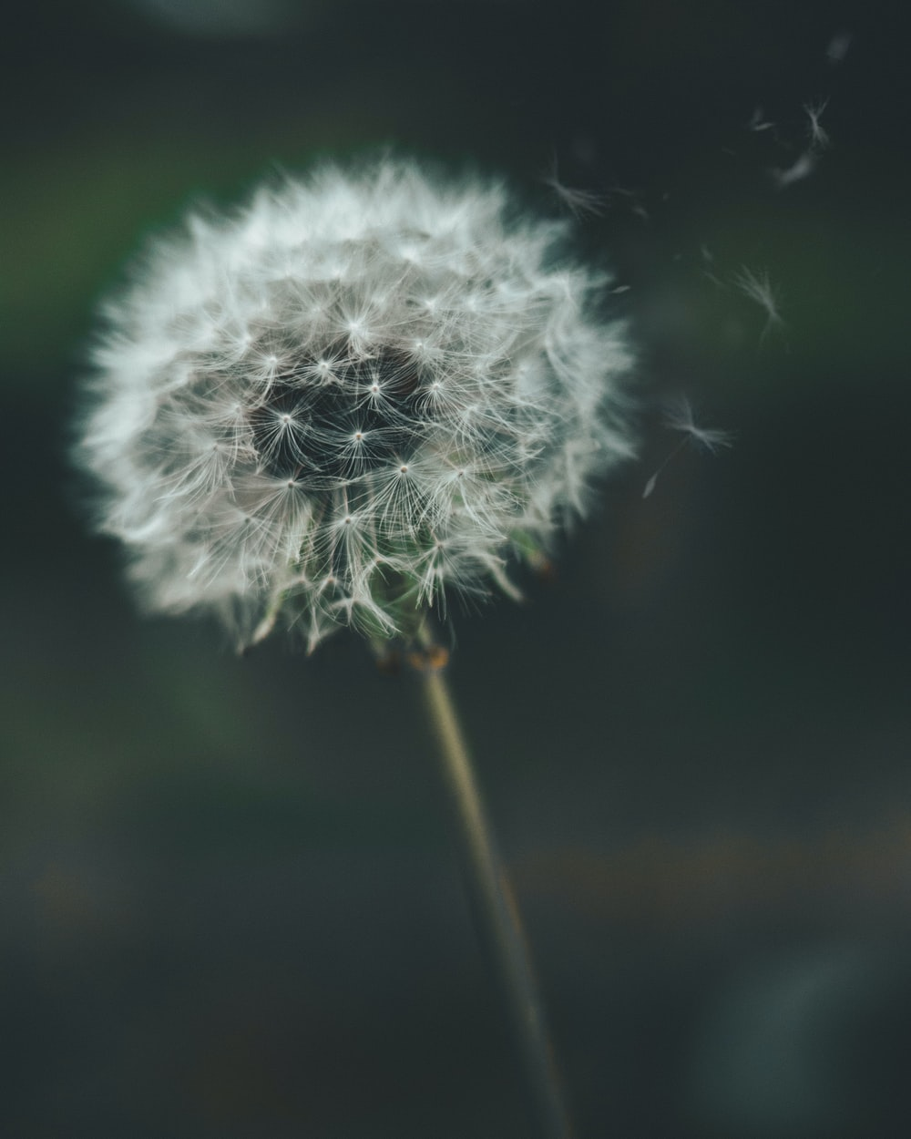 27 dandelion pictures download free images on unsplash white dandelion flower in closeup photography mightylinksfo