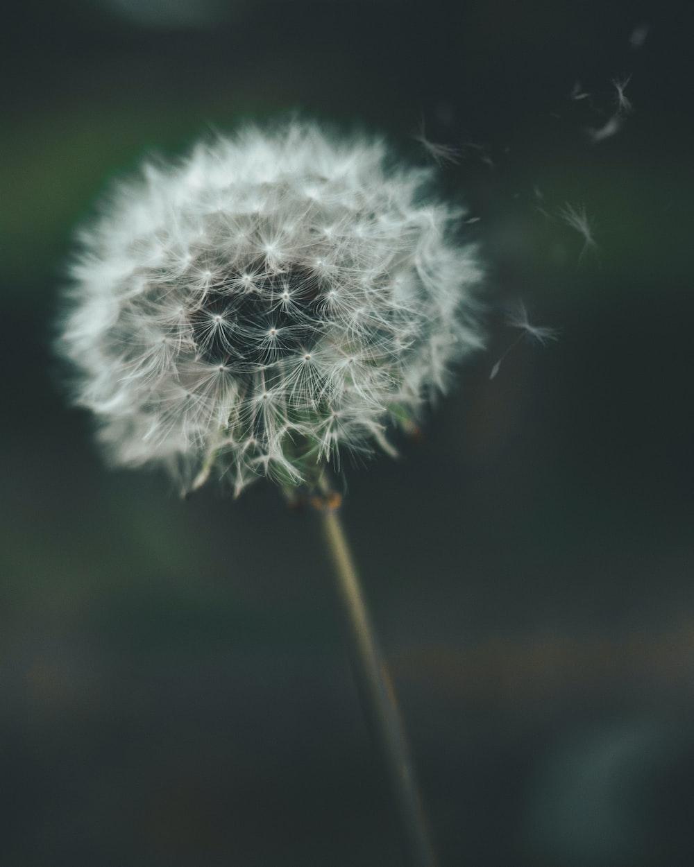dandelion puff photo by sharon mccutcheon sharonmccutcheon on