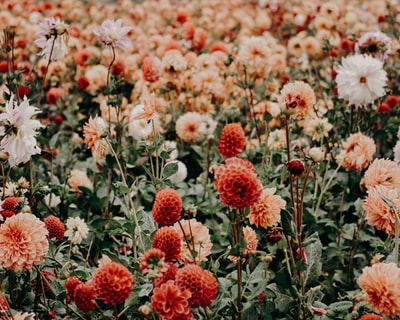 red and white flowers floral zoom background