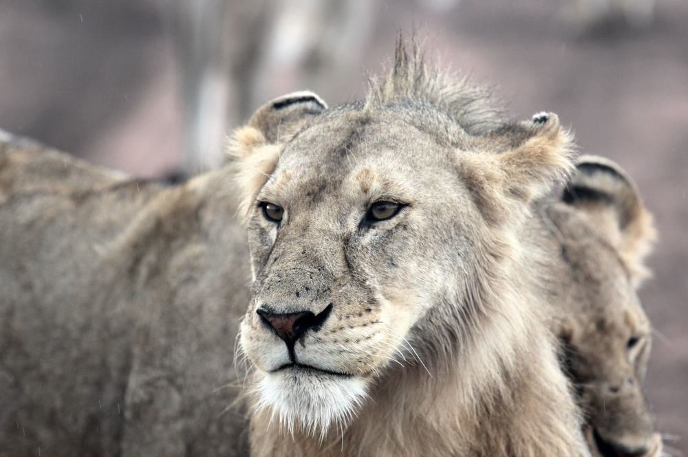 gray and brown lion face