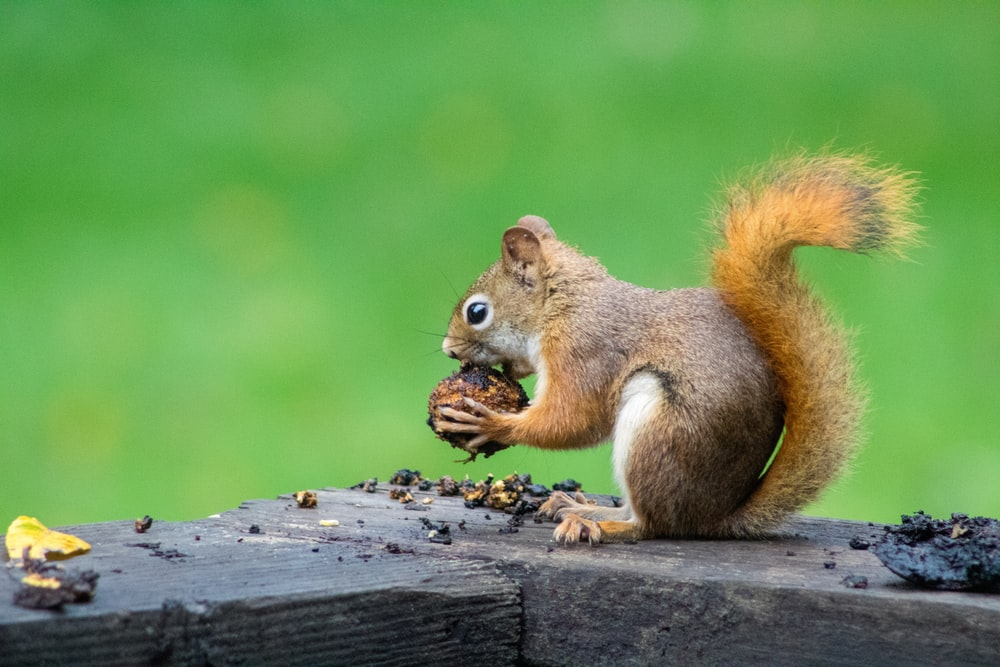 brown squirrel eating nuts