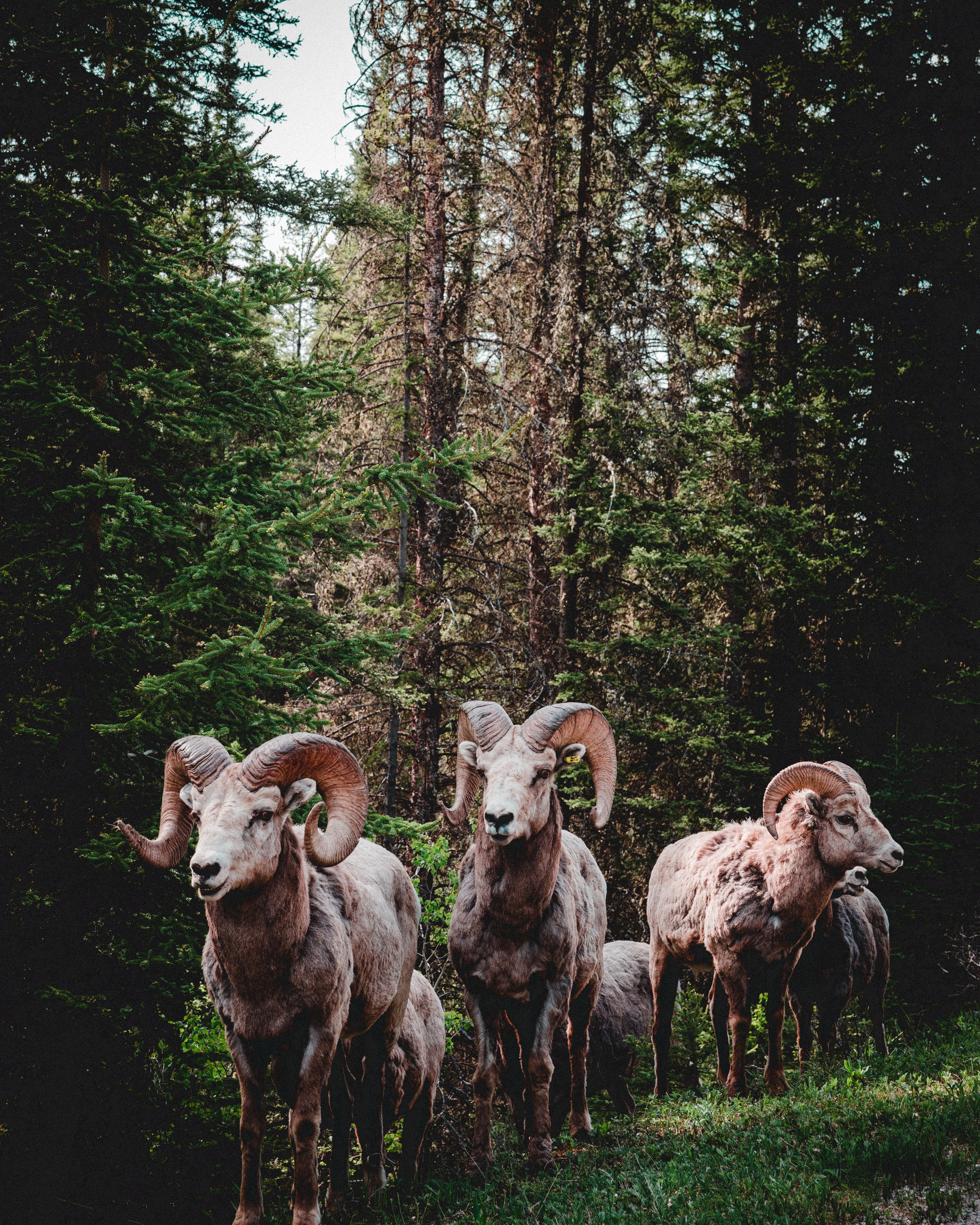 herd of rams in forest