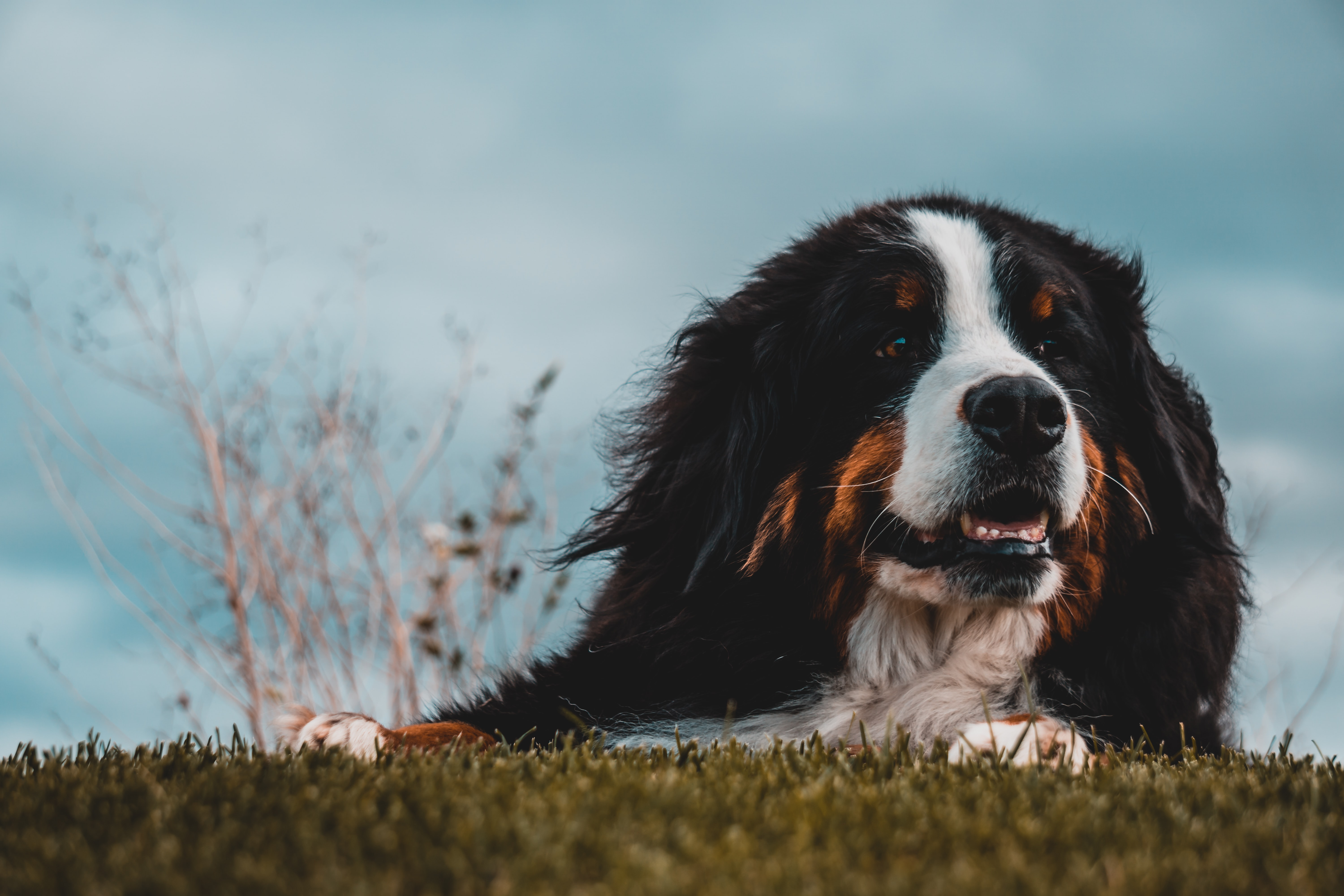 adult greater Swiss mountain dog lying on green grass under blue sky during daytime