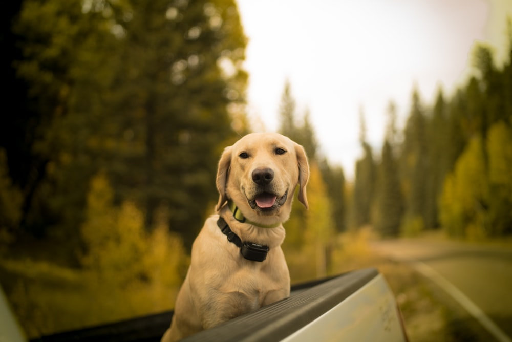 selective focus photography of short-coated brown dog on pickup truck