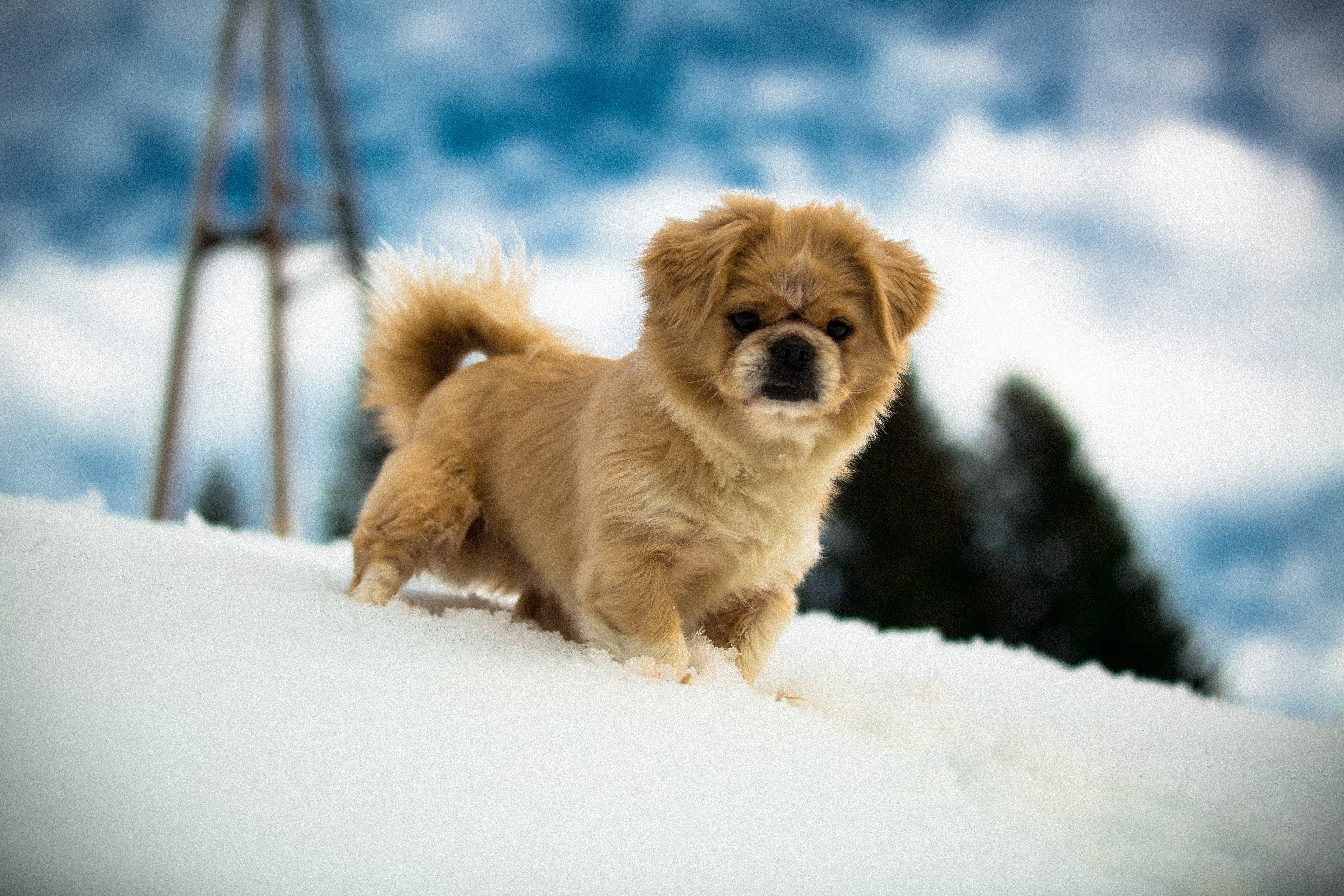 shallow focus photography of brown Tibetan spaniel puppy on snow covered ground