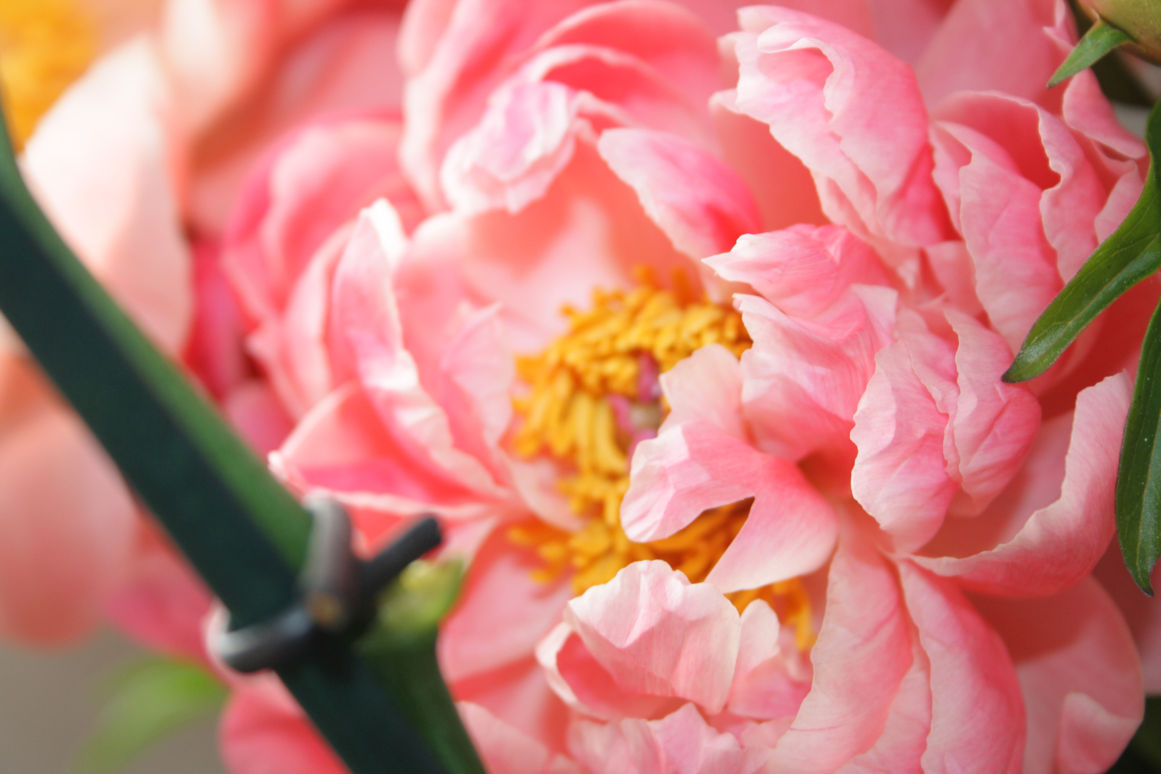 close up photo of pink and yellow flower