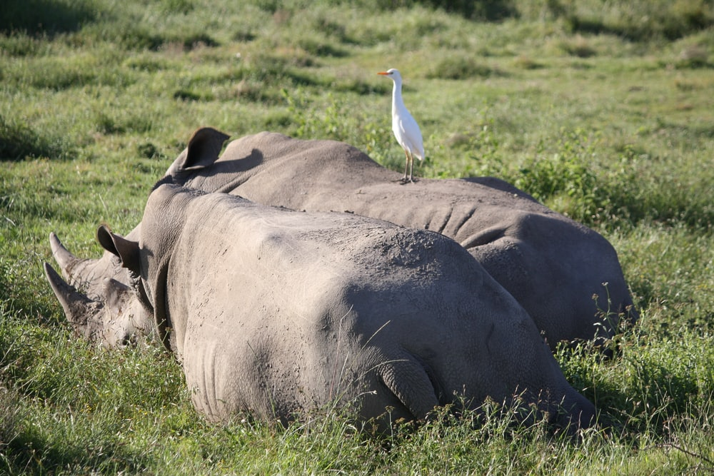 two gray hippo