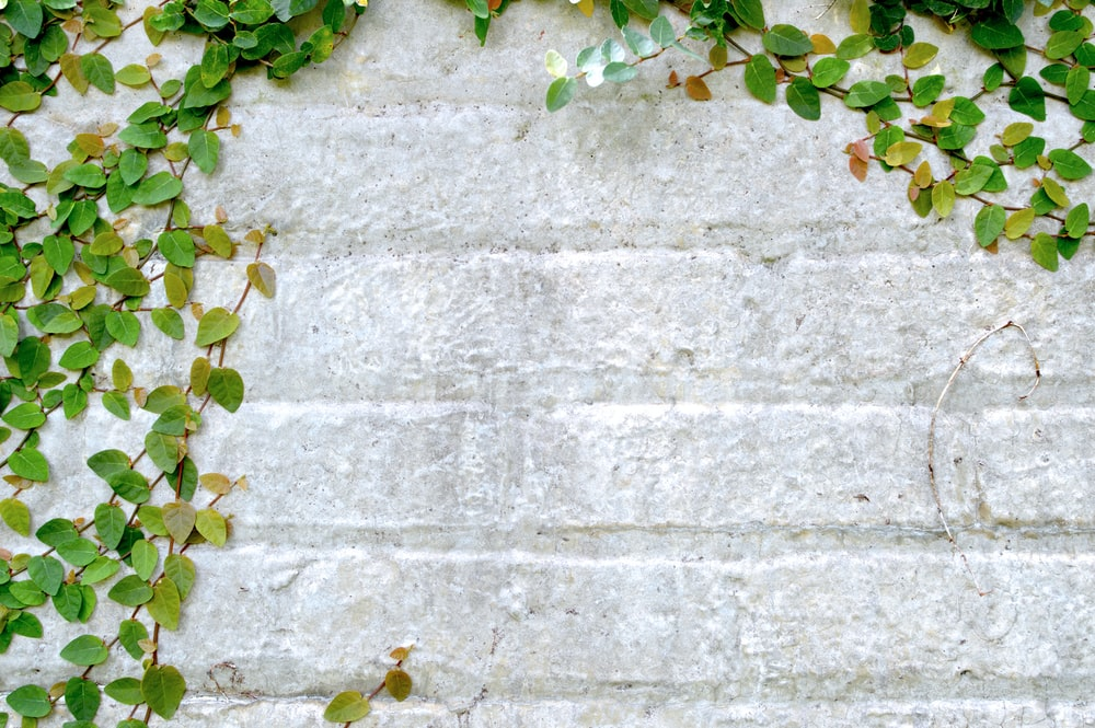 gray wall with vine plant