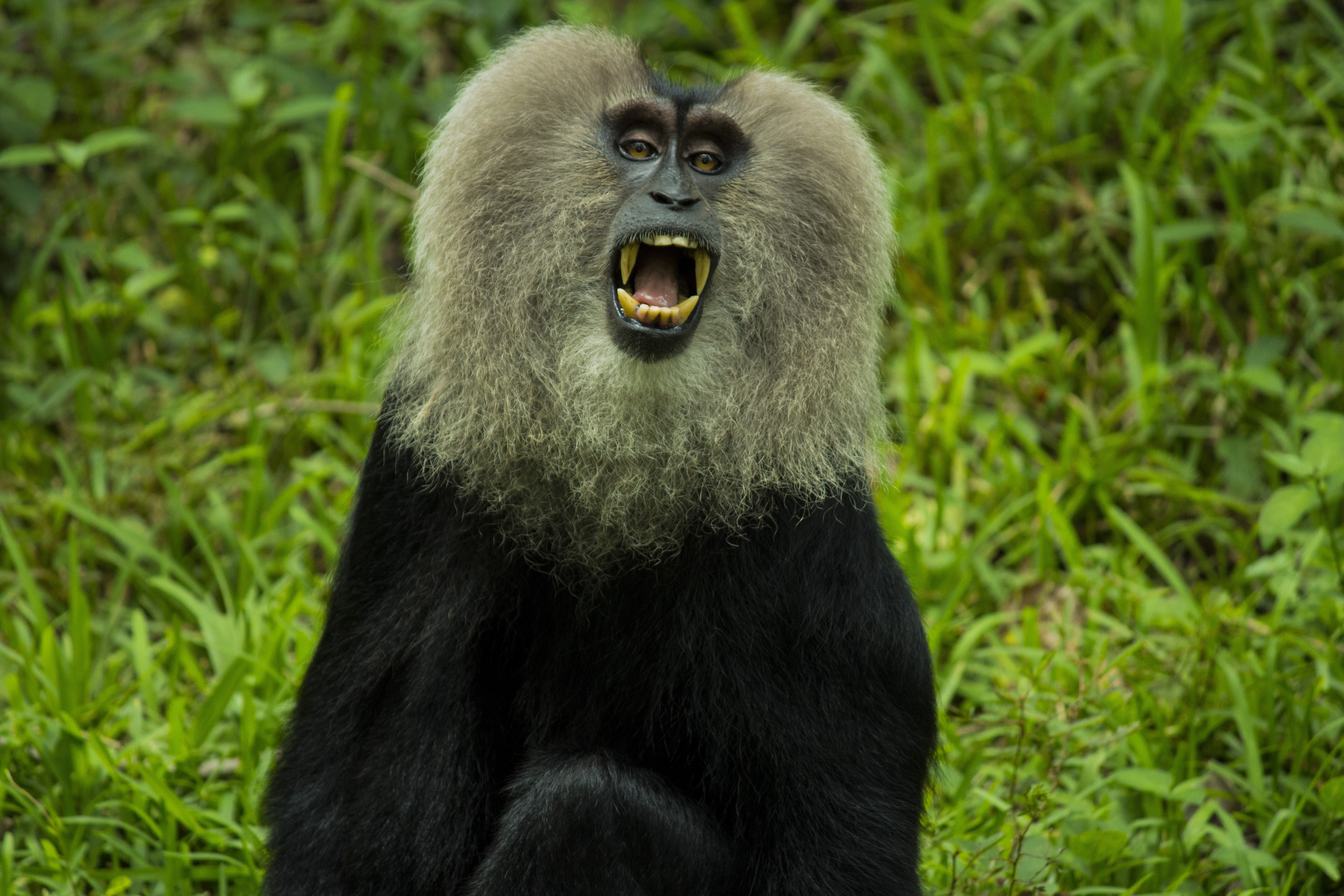 gray and black monkey showing mouth