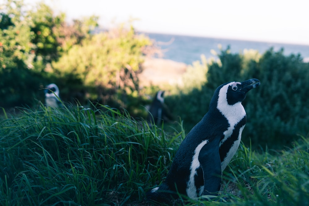 shallow focus photography of penguin