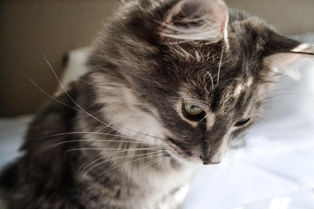close-up photography of gray and black cat looking down
