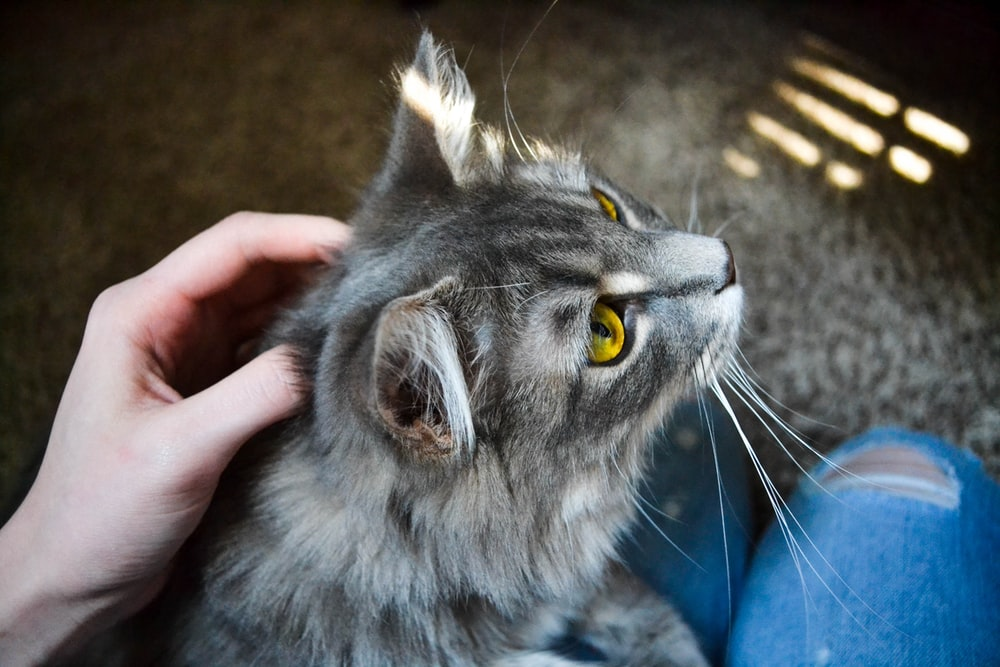 person holding gray cat