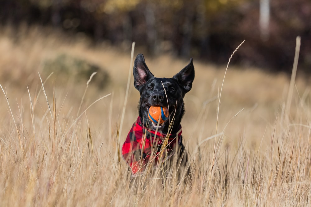 short-coated black dog playing orange ball on grass field during daytime