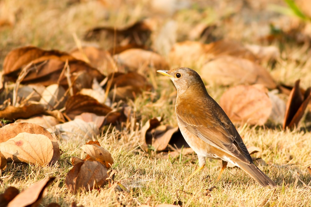 selective focus closeup photography of brown bird on ground near fallen leaves at daytime
