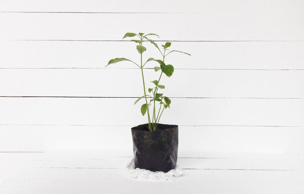 green leaf plant in pot