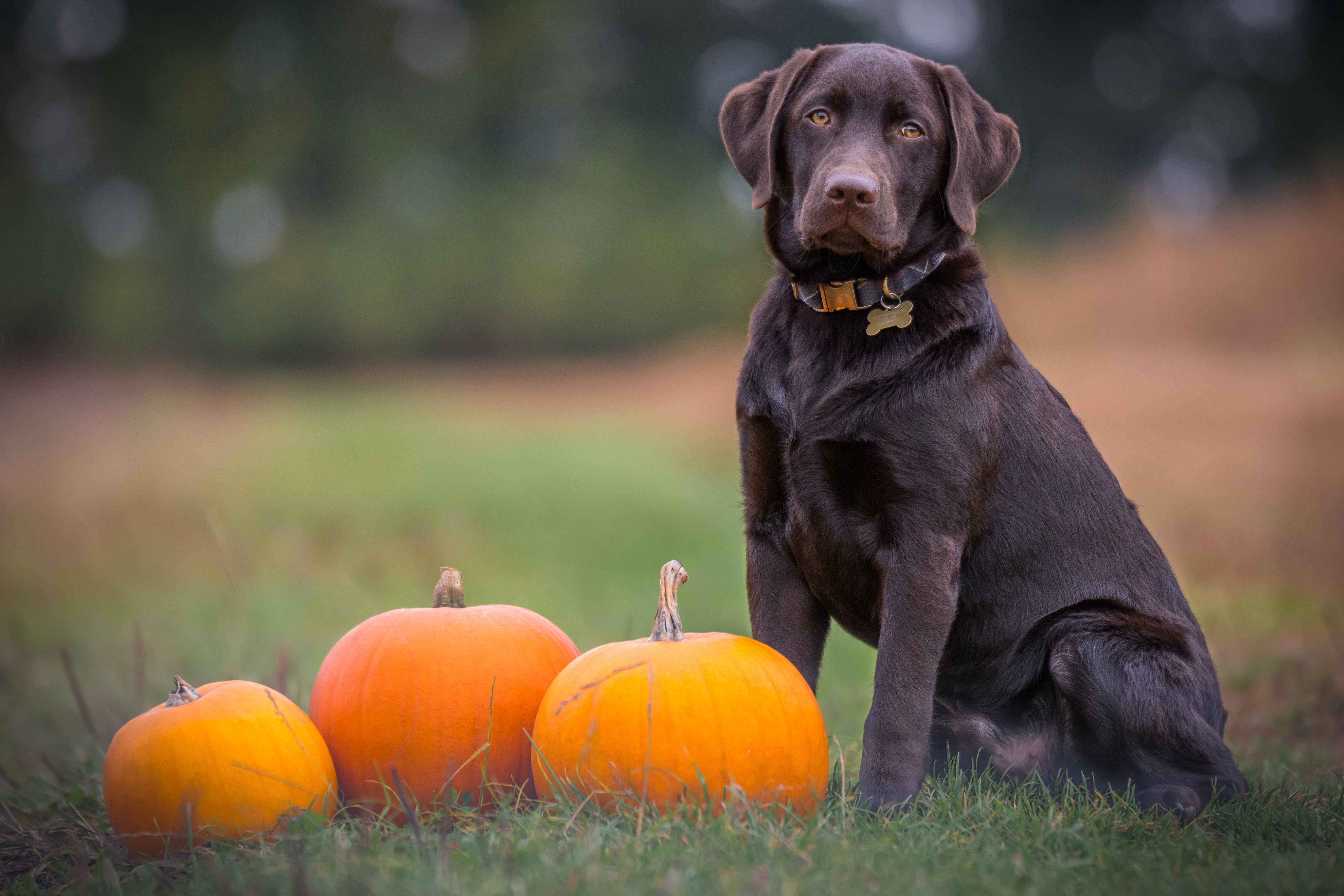 is pumpkin toxic for dogs
