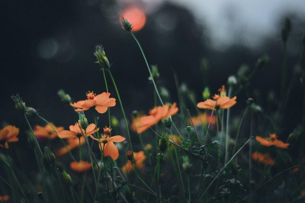 orange flowers in bokeh photography