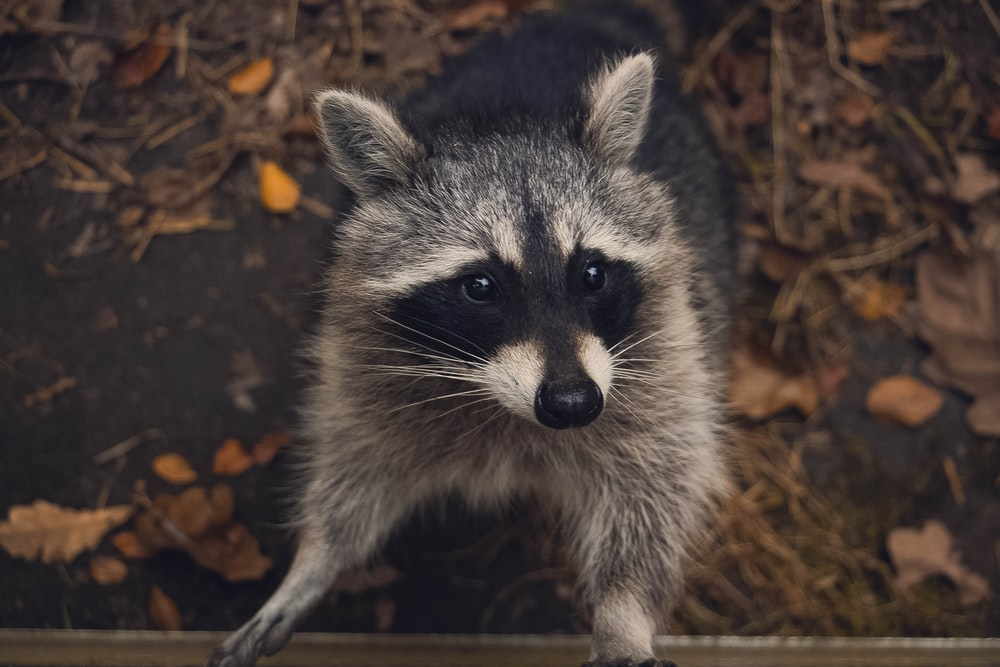 macro shot photography of raccoon