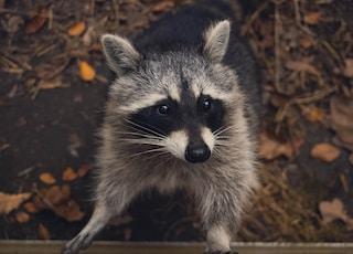 macro shot photography of raccoon