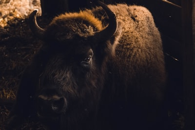 brown buffalo bison zoom background