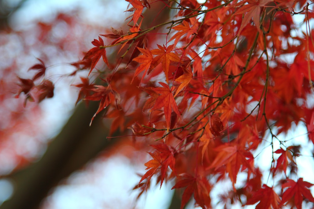 macro photography of red leafed plant