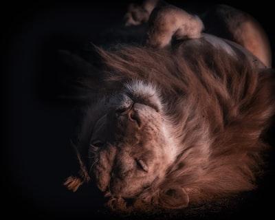 lion zambia zoom background