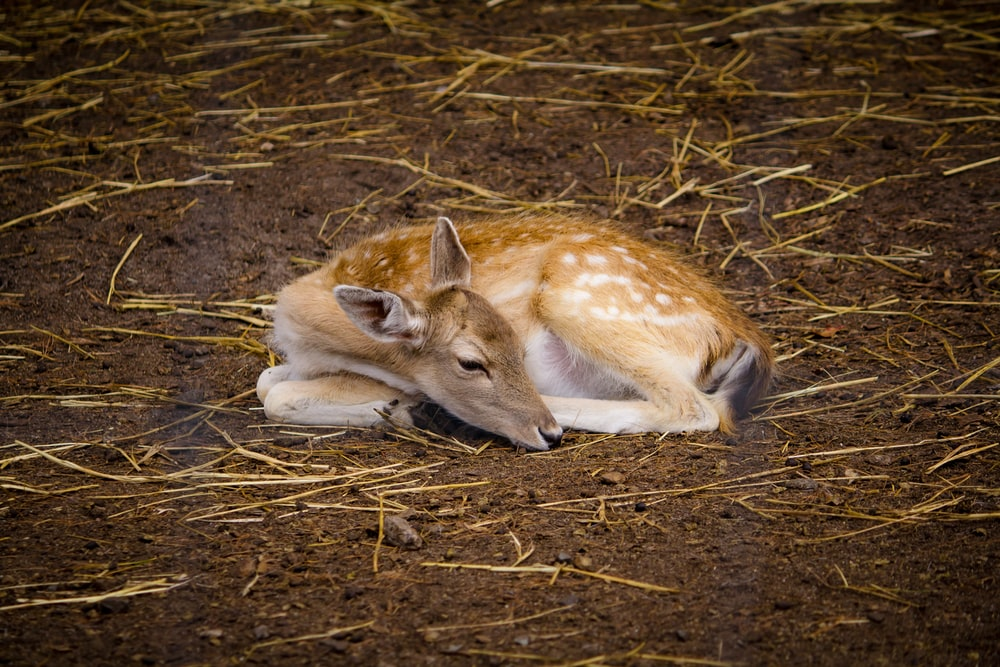 deer lying on brown dirt soil