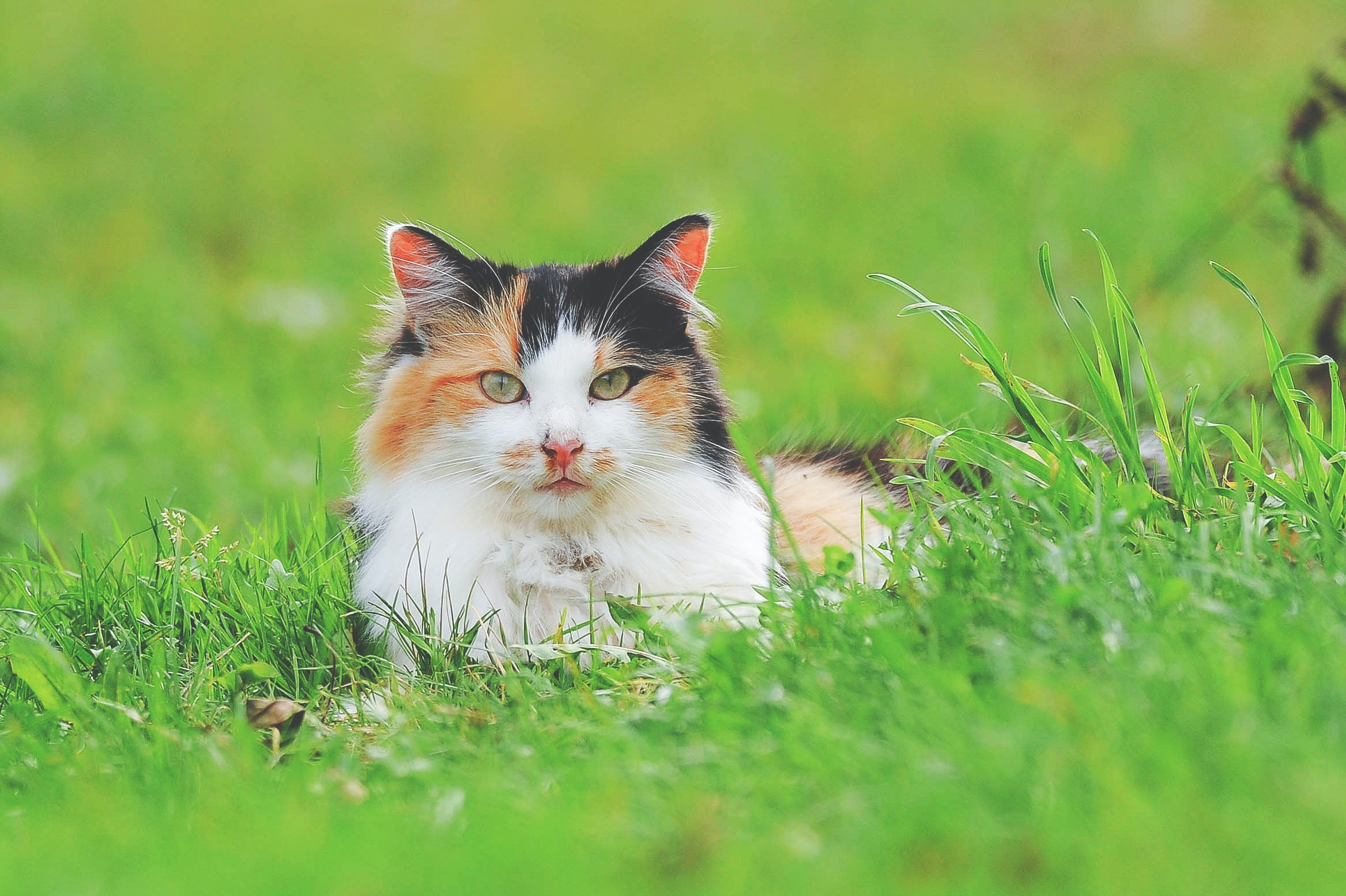 tricolored cat on green lawn grass taken at daytime