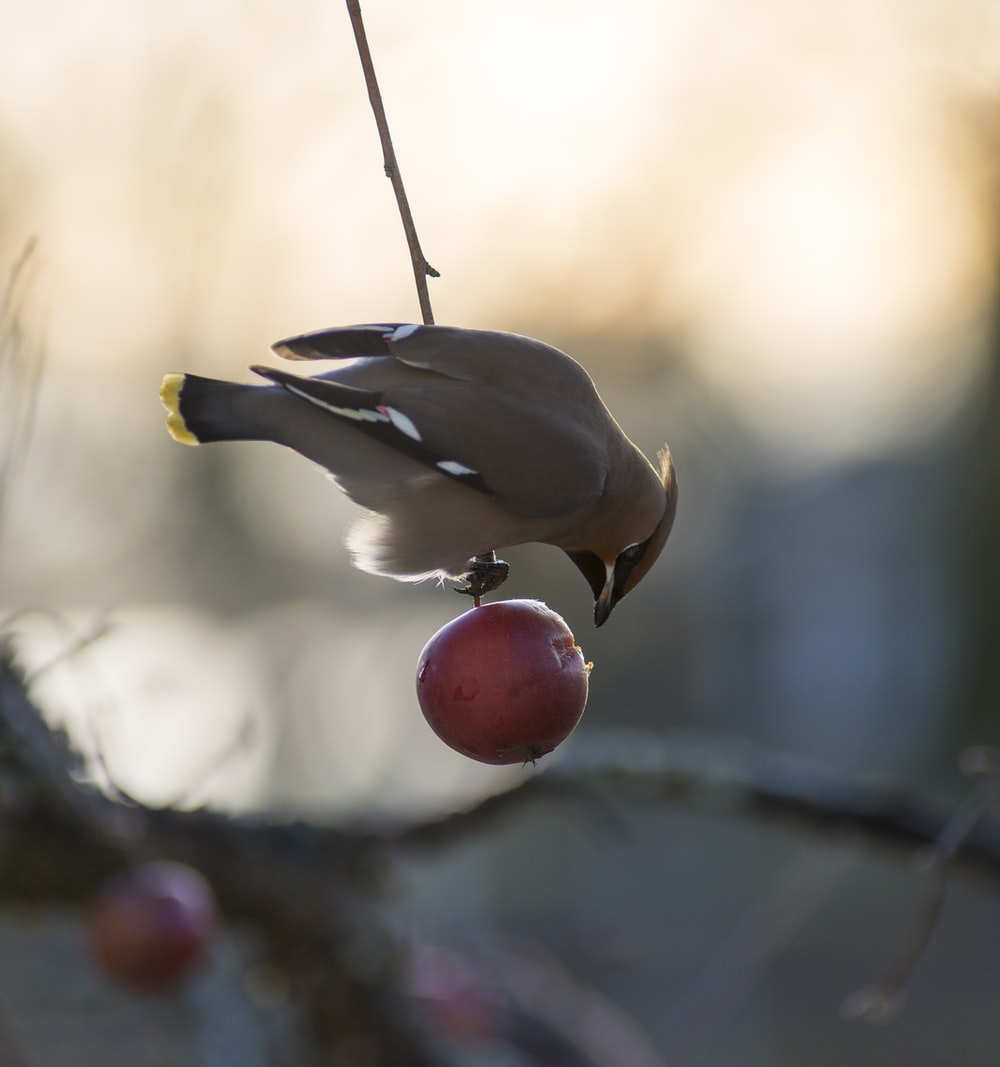 selective photography of bird on red fruit