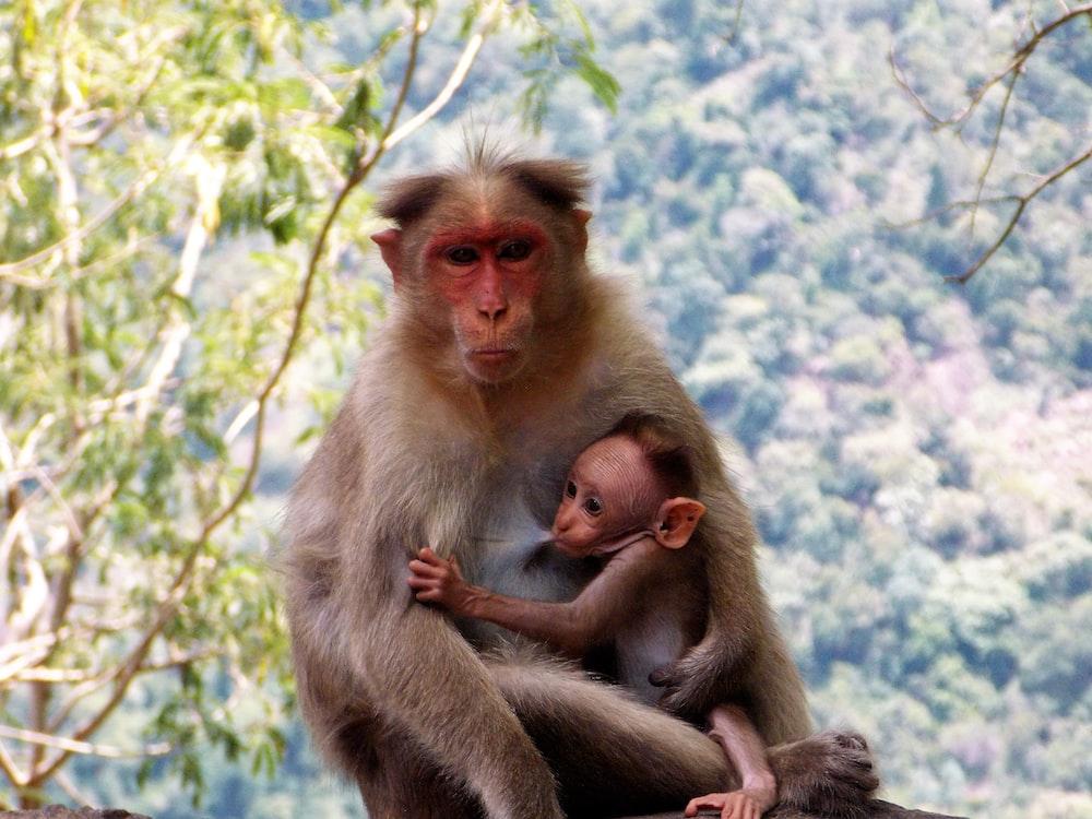 monkey breast feeding baby