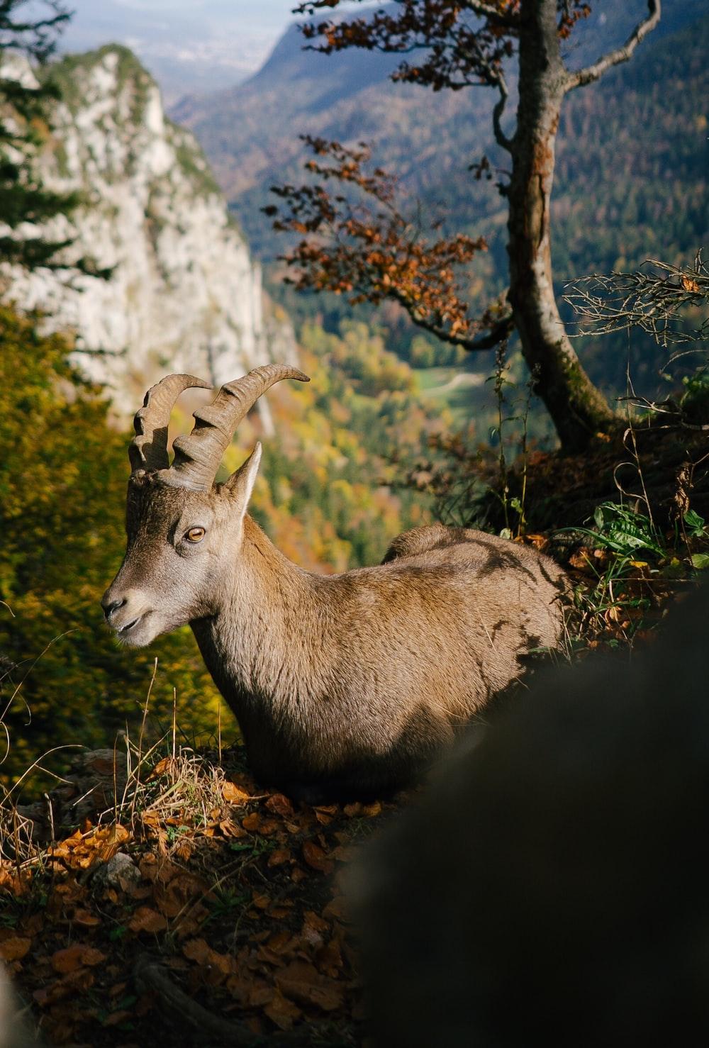 mountain goat lying on ground near tree on top of mountain