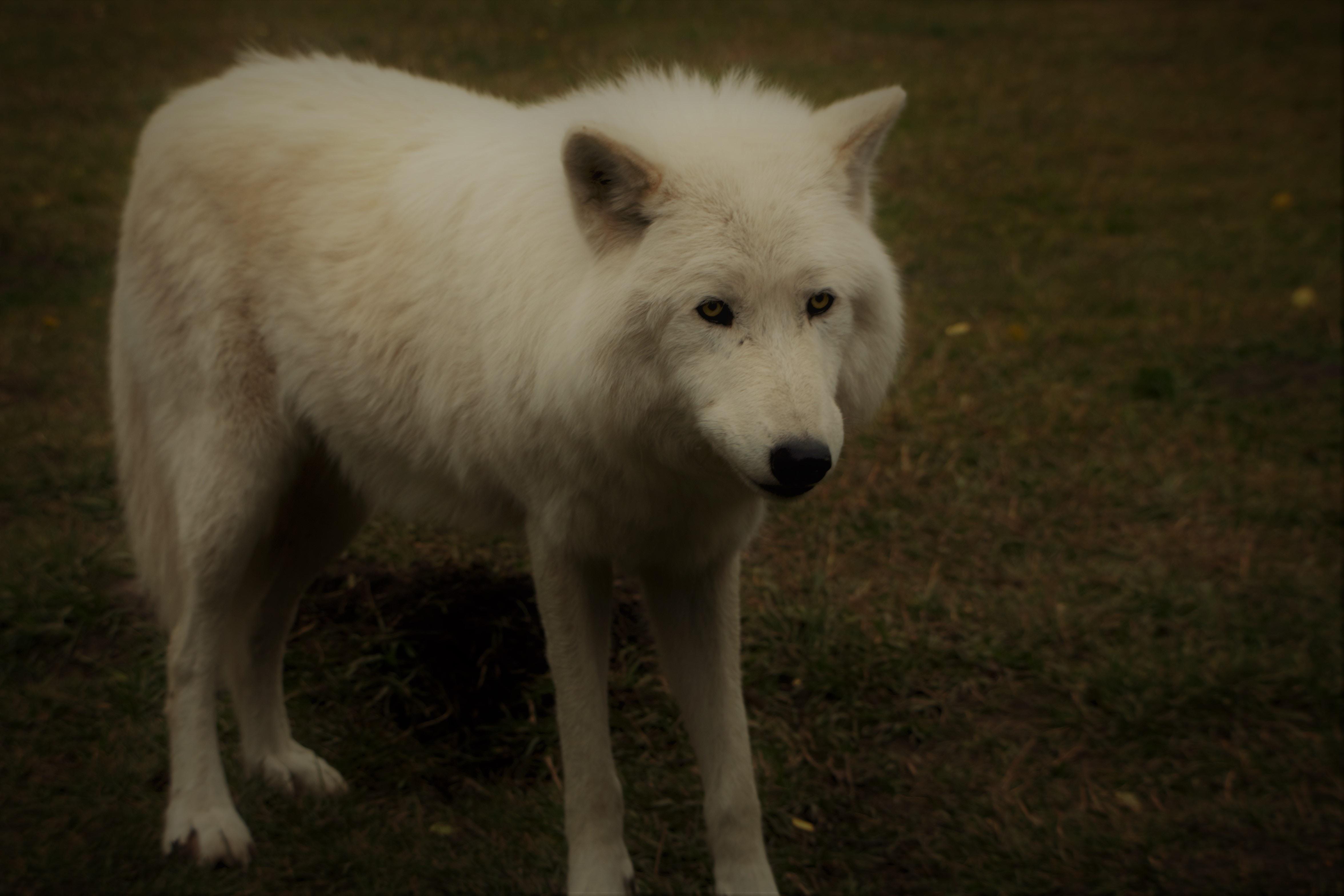 white wolf on grass