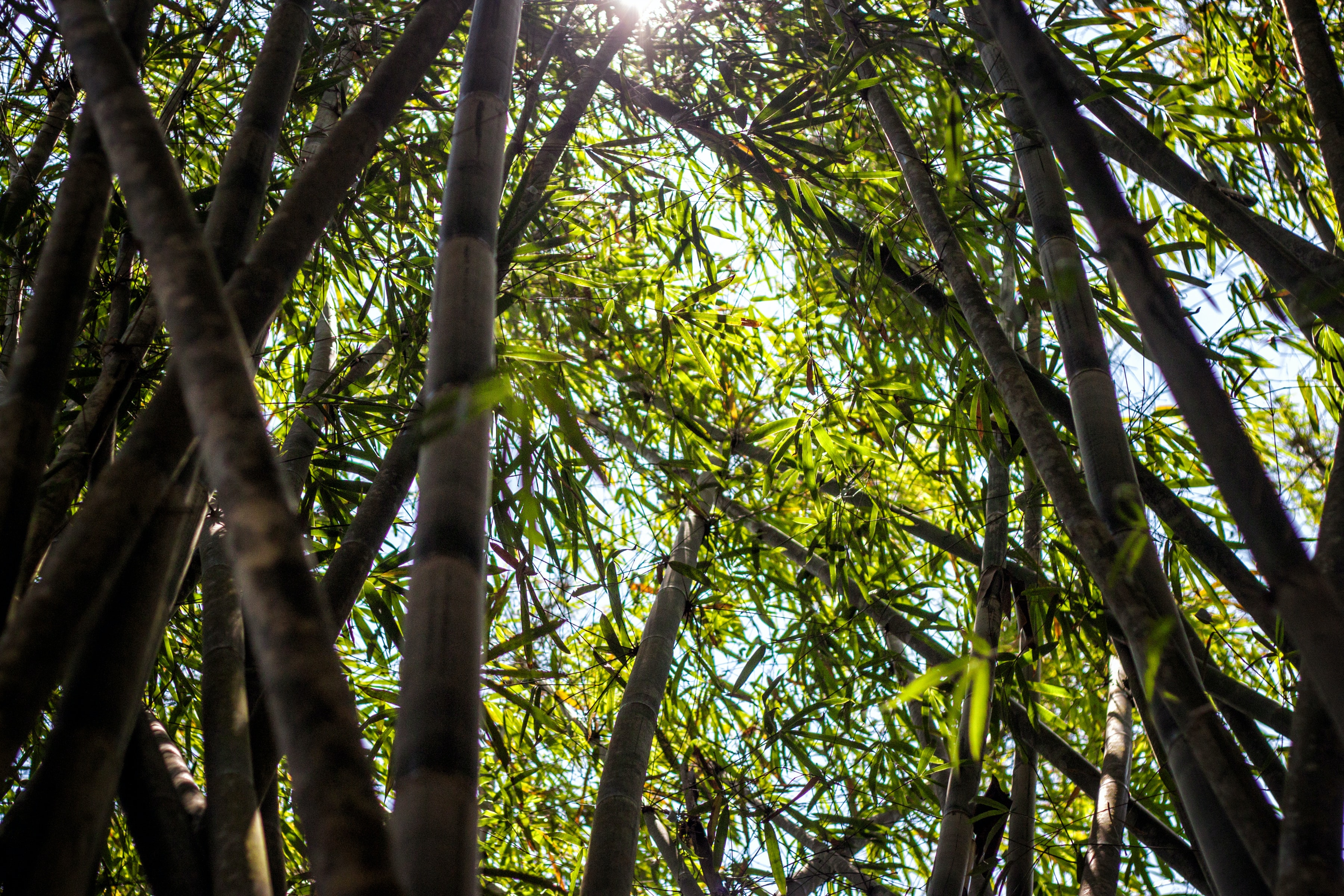 bamboo trees during daytime