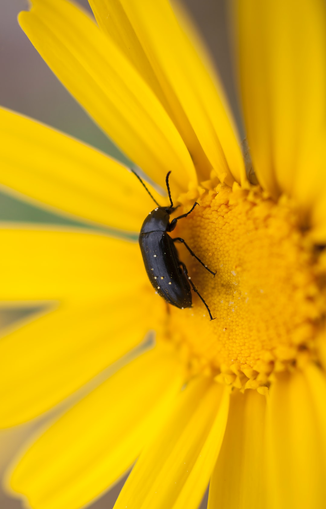 Located in Pani Hill overlooking the city of Athens, a Beetle (Melanotus Rufipes) feeds on a Yellow Daisie (Chrysanthemum coronarium) in early Spring, a few hours before sunset.