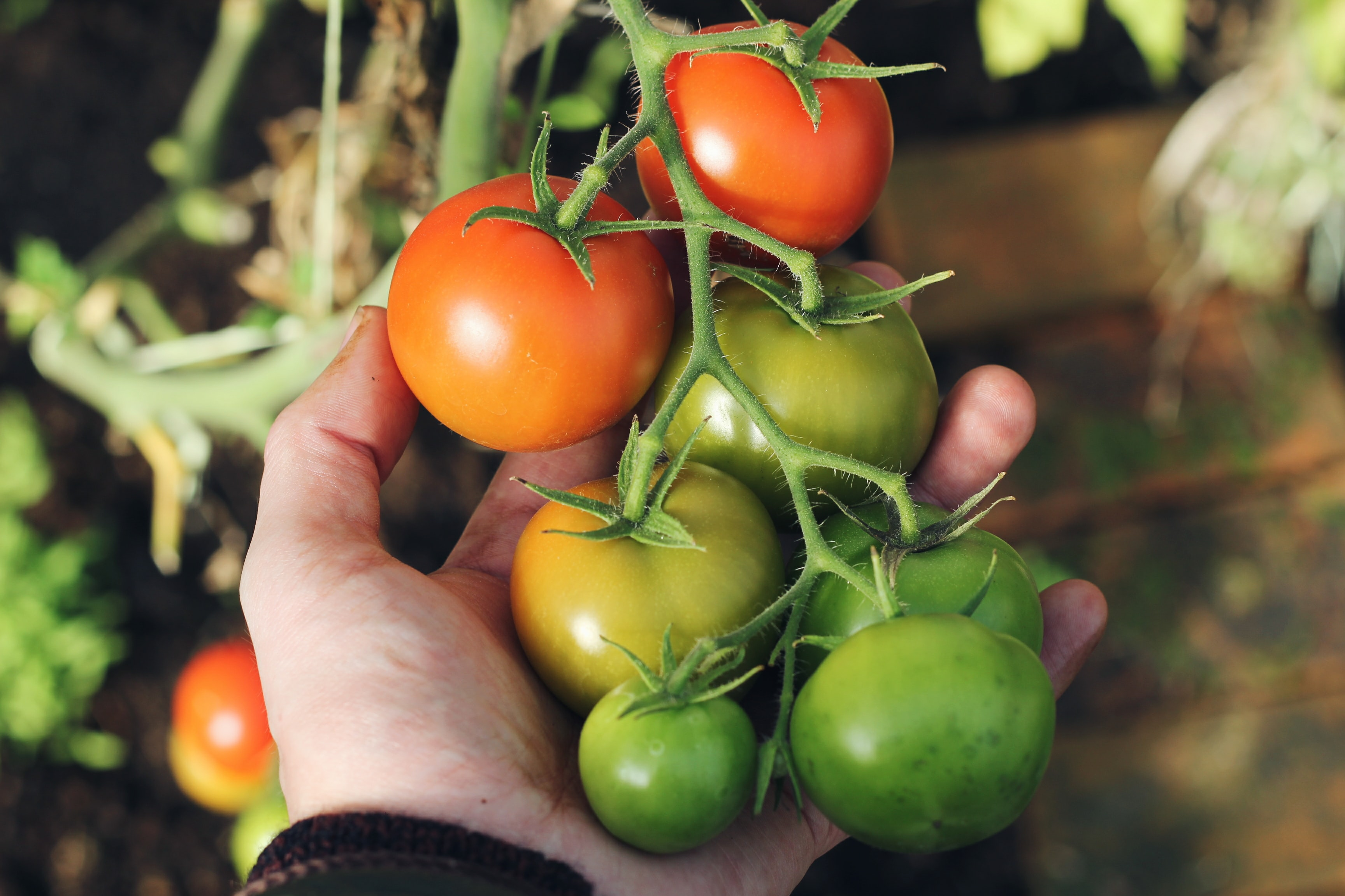 person holding green and red tomatoes