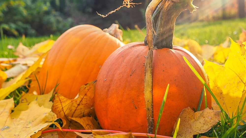 two orange pumpkins closeup photo, stoner pumpkin carving ideas