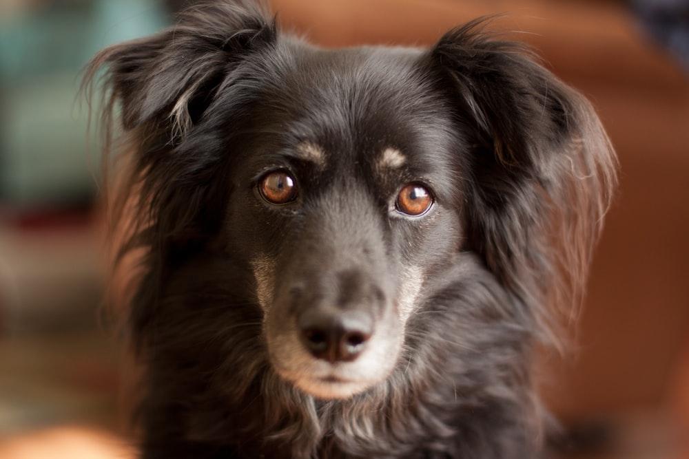 black dog staring at the camera