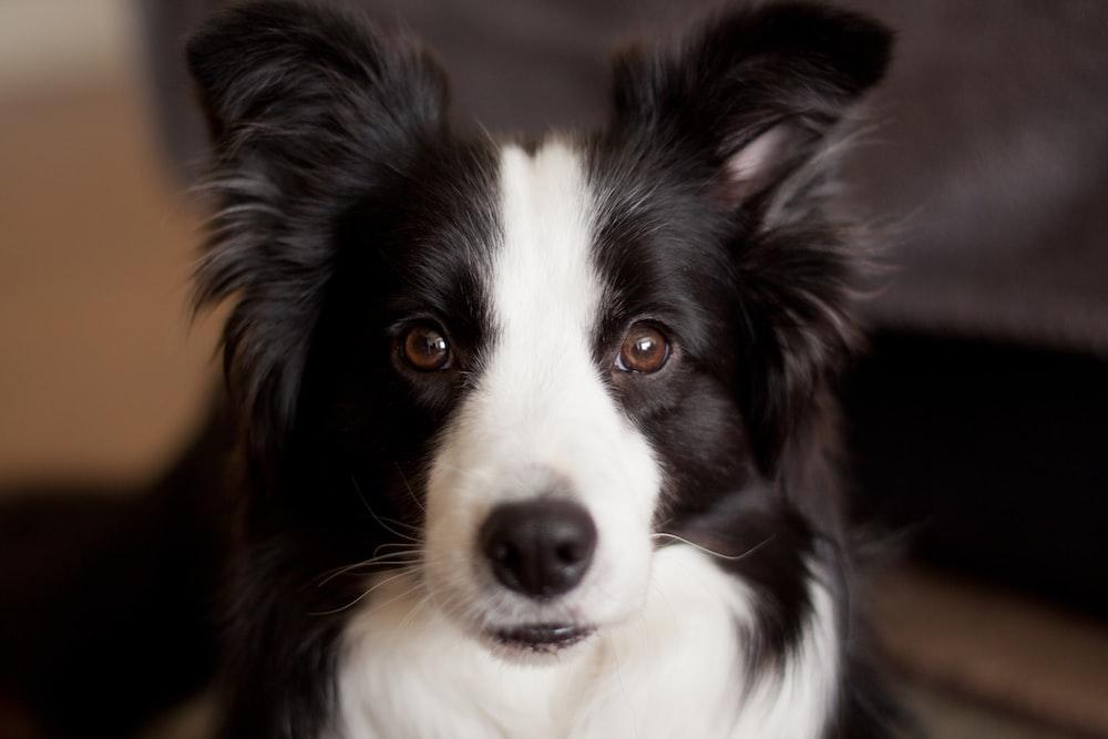 long-coated white and black dog closeup photo