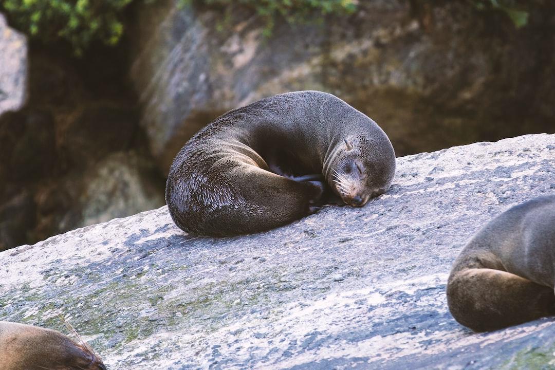 Juvenile Southern fur seal