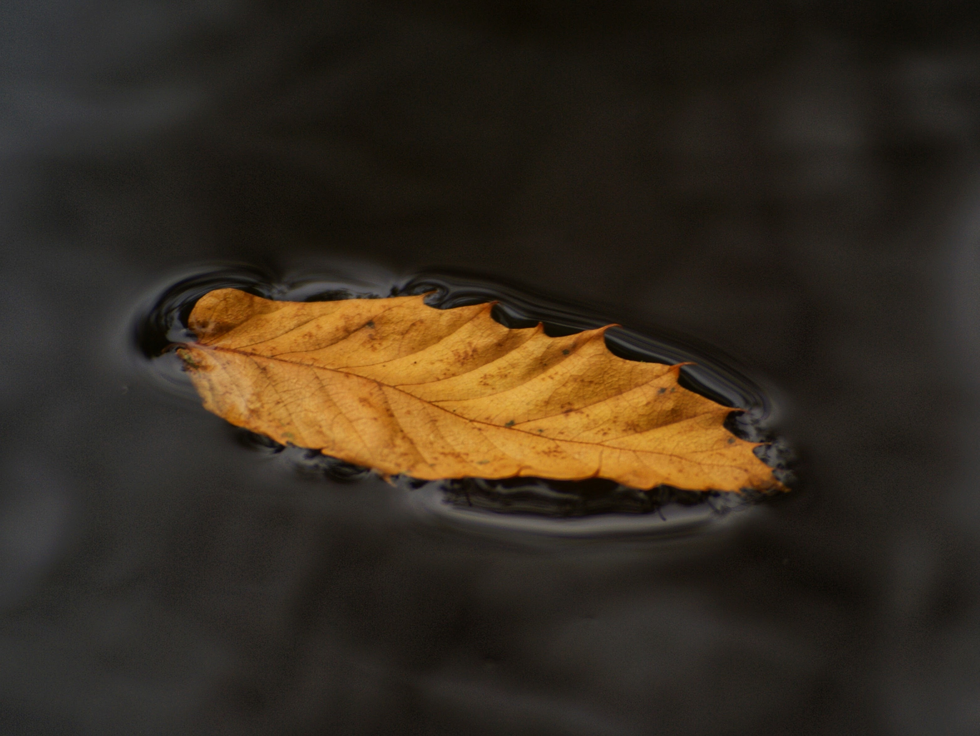 brown leaf on water